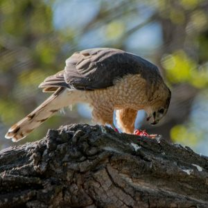 Coopers Hawk eating it's kill.