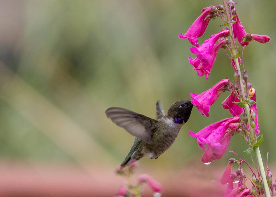 Black-chinned hummingbird sipping nector.