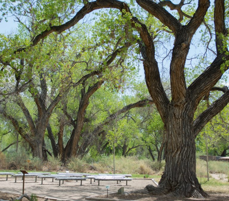 Cottonwood tree at outdoor classroom.
