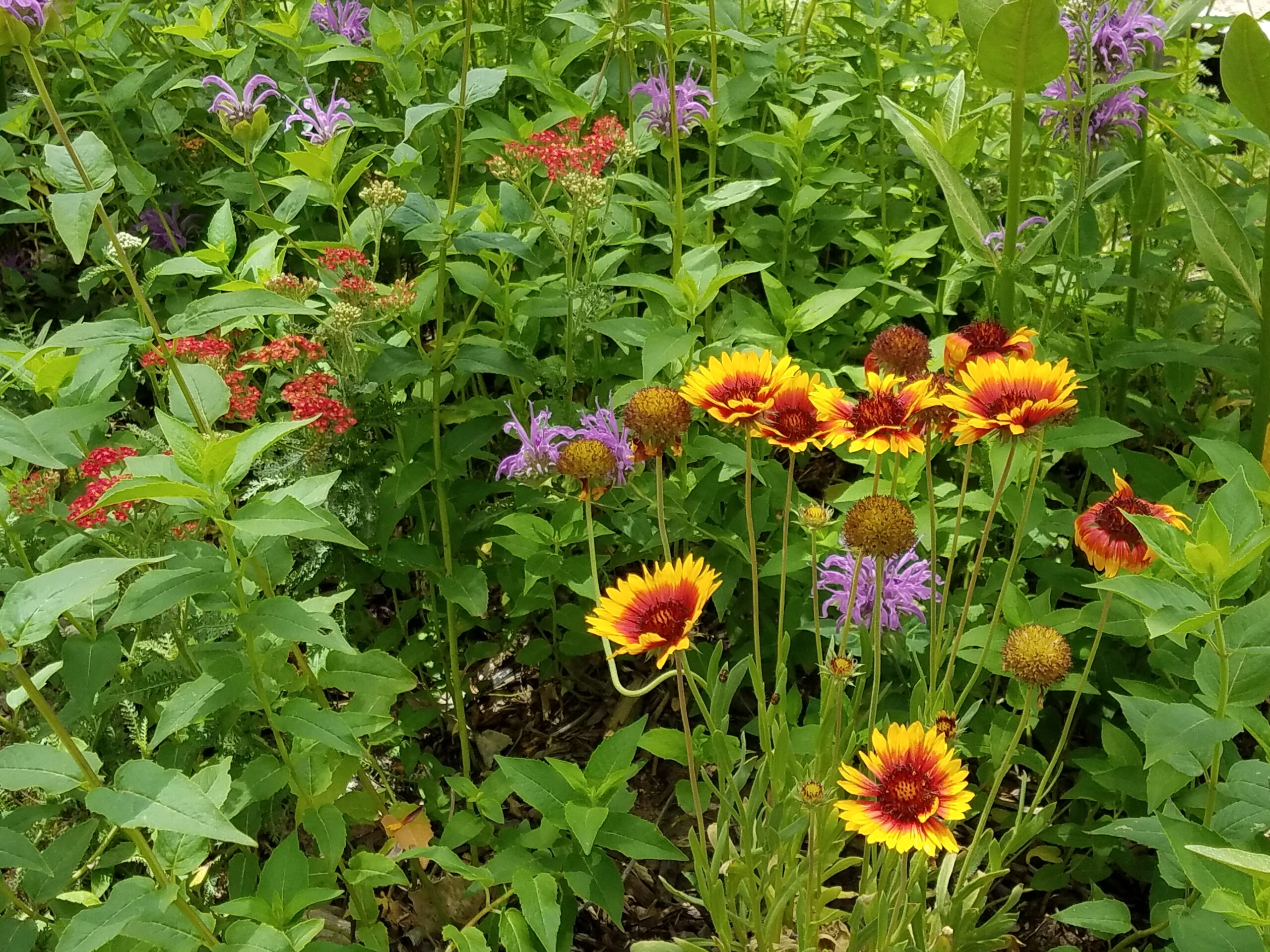 Flowers in Native Plant Garden.