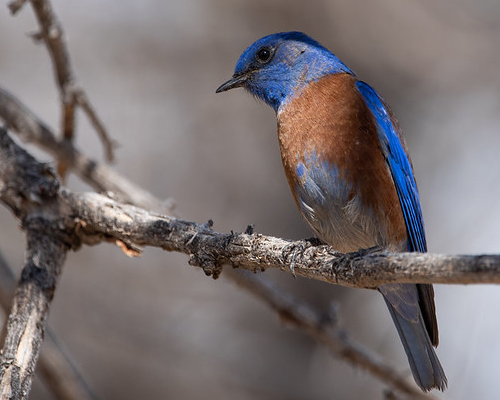 Blue and brown bird on a branch.