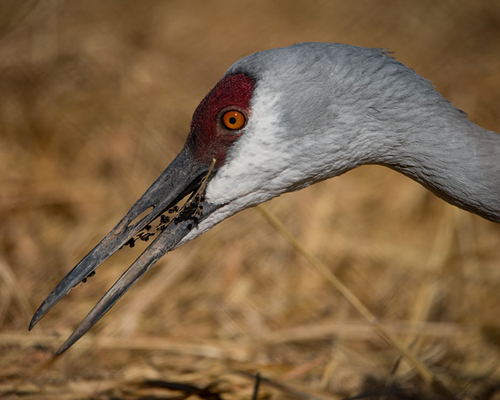 Sandhill crane eating seeds.