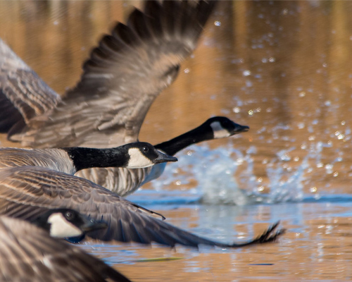 Canada geese over pond.