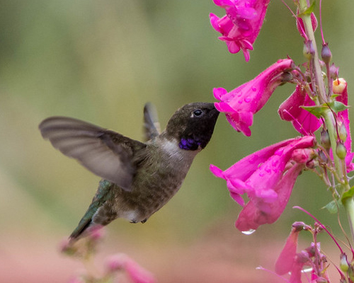 Humming bird feeding at flower.