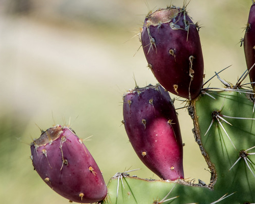 Prickly Pear fruit.
