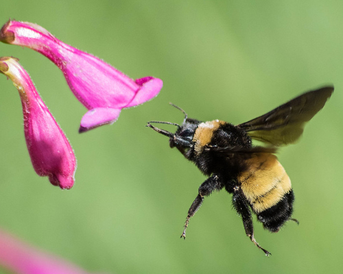 Native bee inspecting flower.