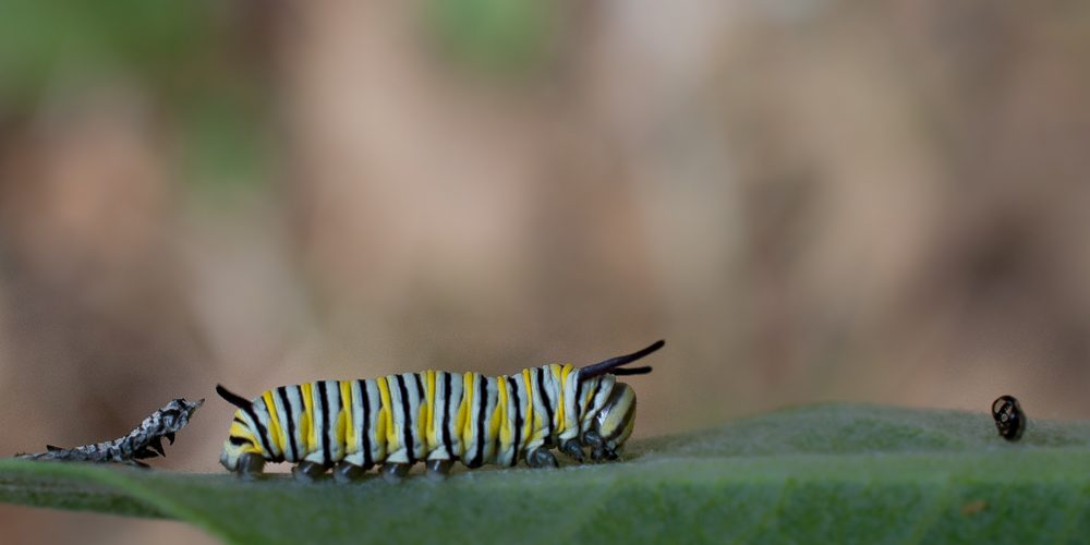 Caterpillars on a leaf.